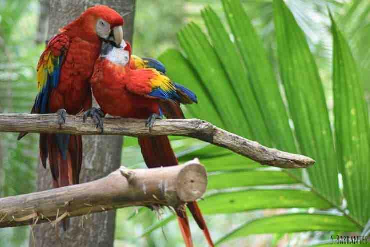 Quelle espèce d'oiseau en danger d'extinction peut être trouvée au Costa Rica ?